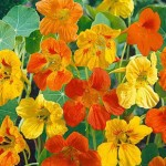 Nasturtiums like we ate